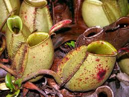 Leader.Carnivorous plants