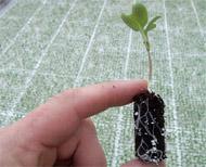 Semine in alveoli o contenitori